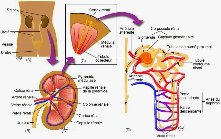 rein anatomie néphron schéma infirmier