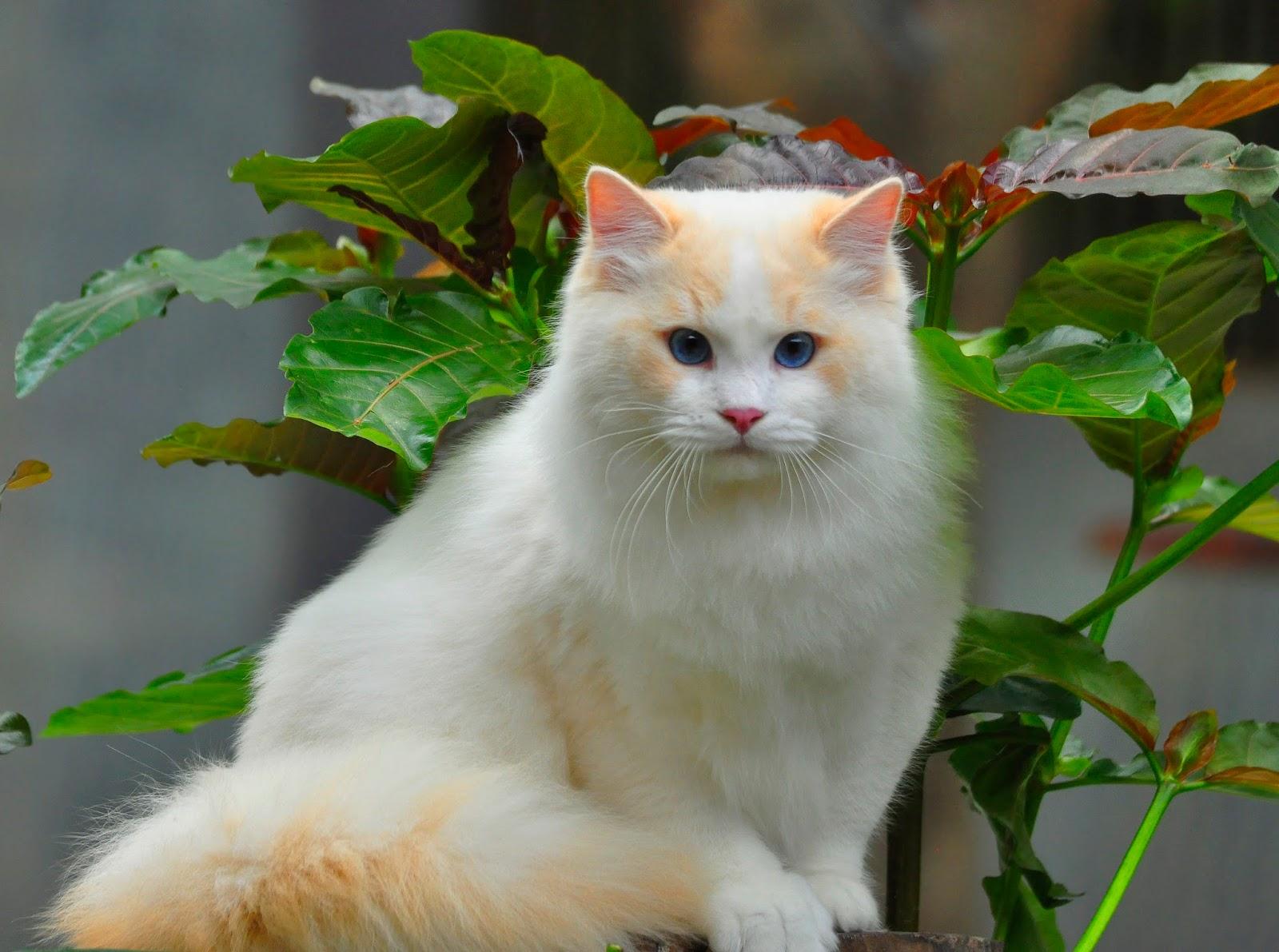 Gambar Kucing Wajah Manusia godean.web.id