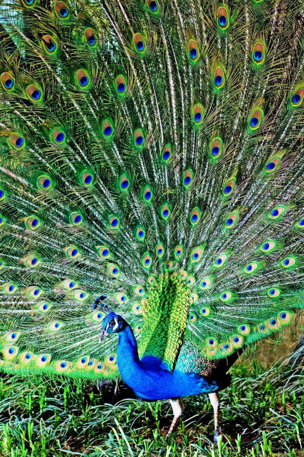 Lifelike 3d Wallpaper Fine Hd Wallpapers Download Free Hd Wallpapers Peacock