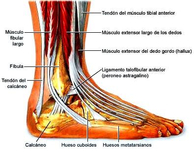 Pie plano anatomía pie
