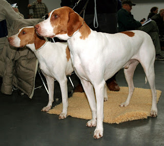 Braque Saint-Germain-pets-dogs-dog breeds