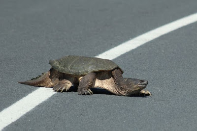 road-crossing snapping turtle (5/30/14)