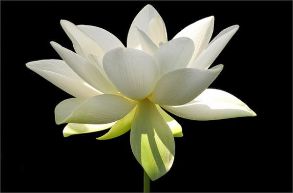 25 Lotus Flower Pictures to Inspire You