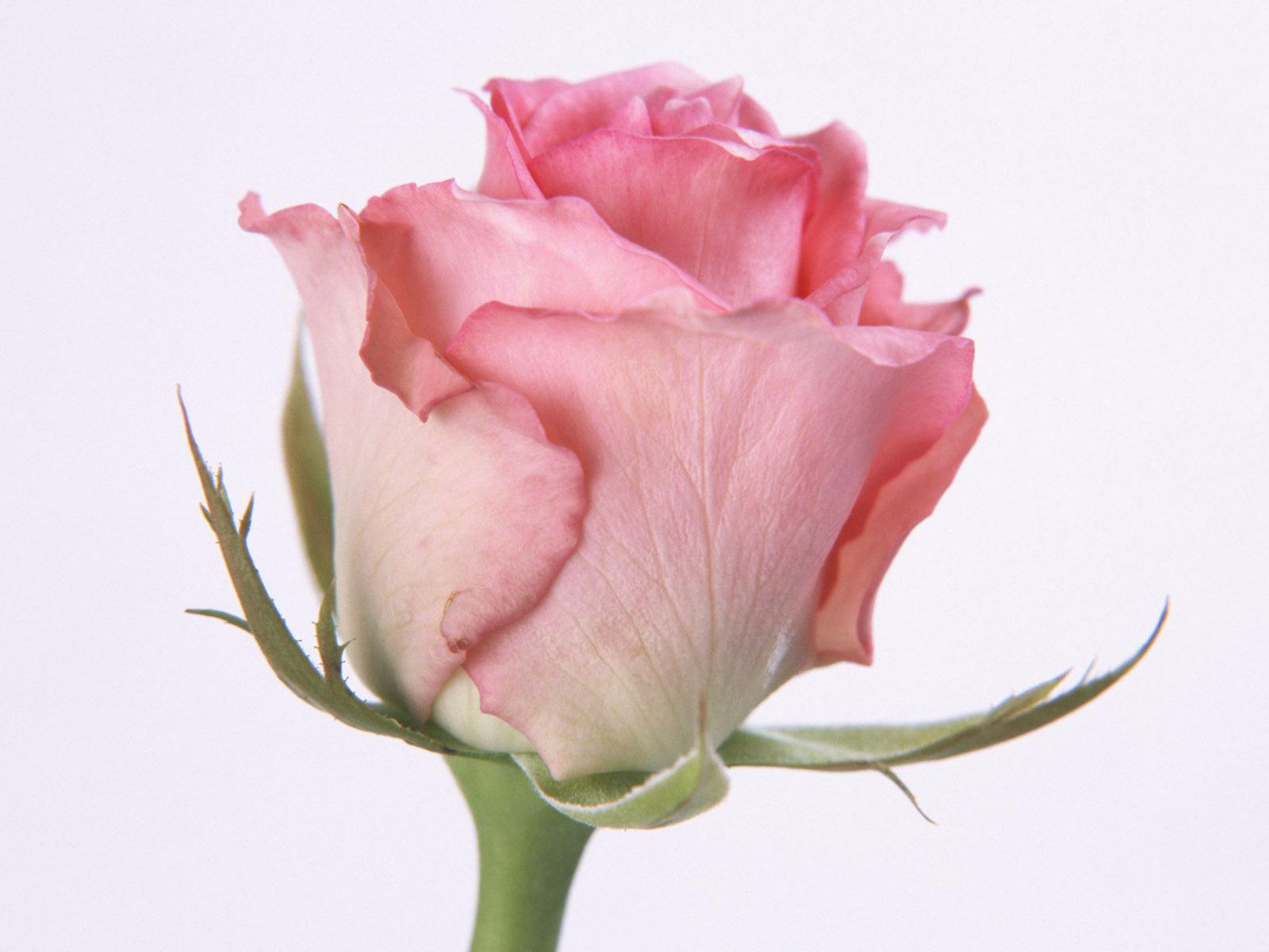 BABY PANDA BLOG: PINK ROSES for ROMANCE