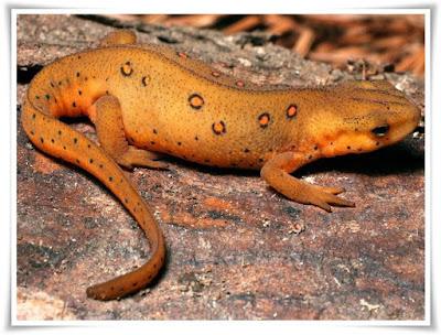 Newt [Salamandridae Pleurodelinae] Facts