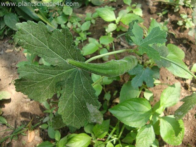 Abelmoschus esculentus (Malvaceae)