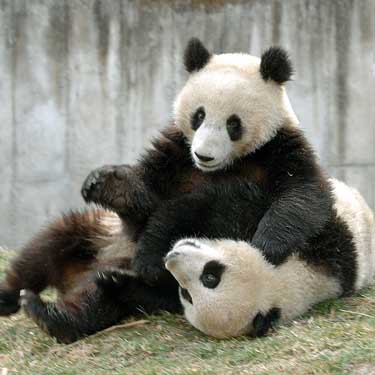 ANIMALS WALLPAPERS: ,Play Feed The Panda - cool puzzle ...