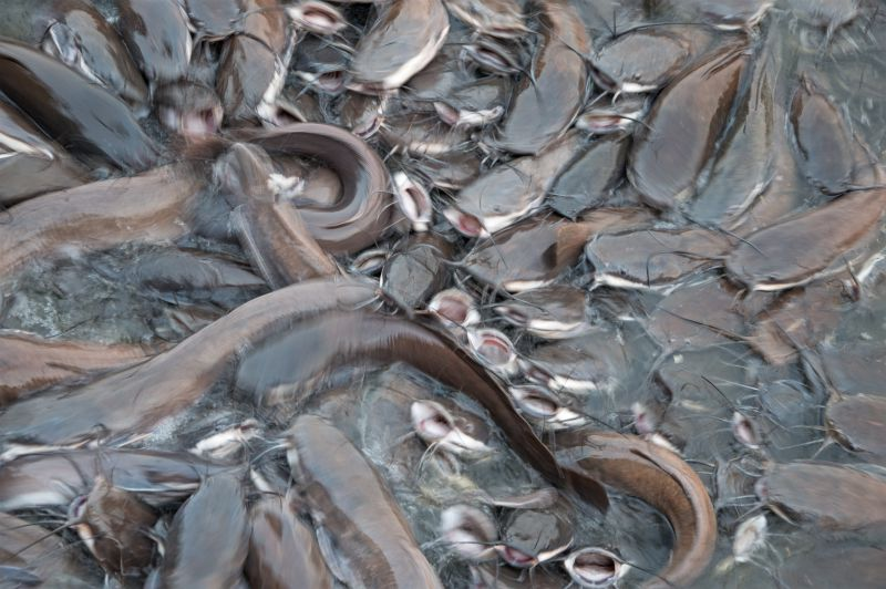 Catfish in Gadsisar lake vying with each other to gulp the Chana thrown