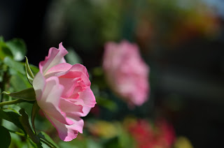 ピンクのバラを横から