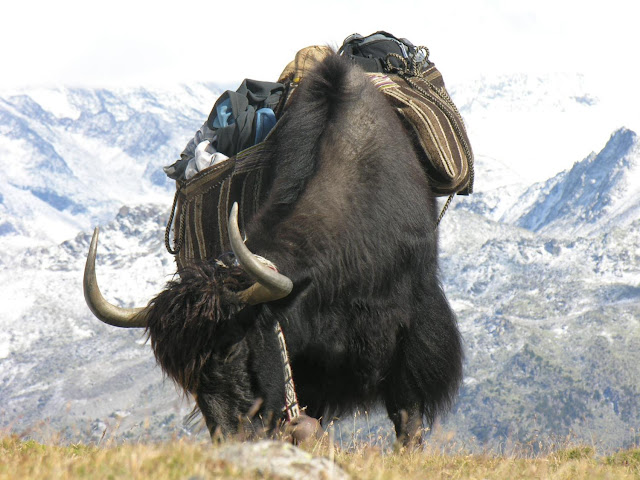 The bovine heritage of the yak