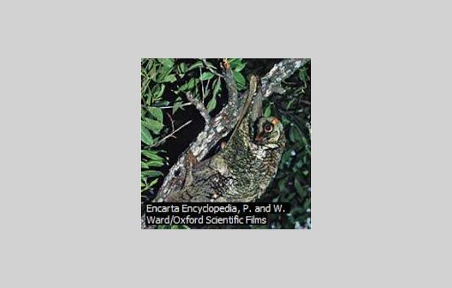 Mamalia Dermoptera