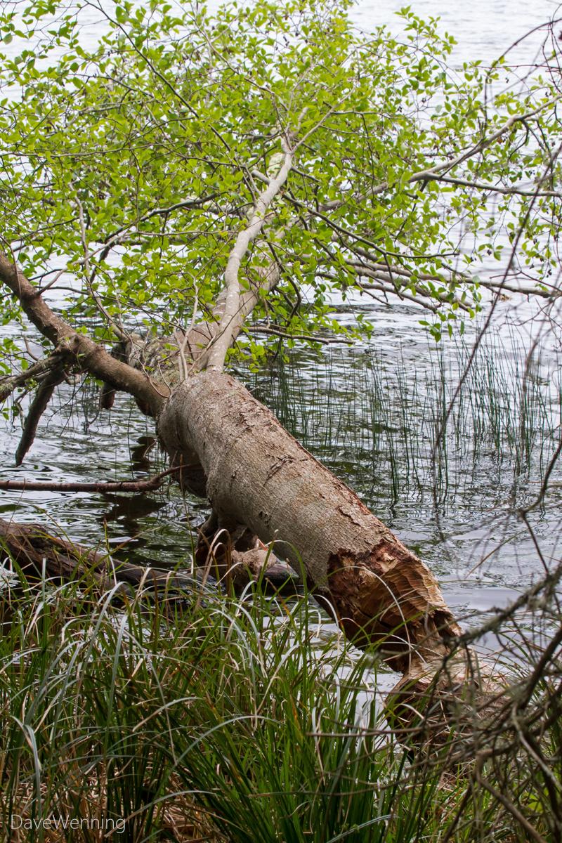 Red Alder (Beaver Work)