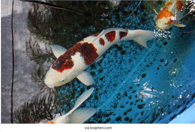 Jenis-Jenis Ikan Koi Sumi Goromo