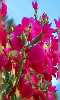 Flores rosa intenso fondos wallpaper para teléfono móvil resolución 480x800