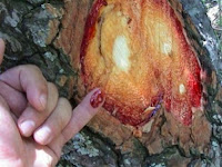 Ajaib, Pokok Ini Boleh Keluarkan Darah Yang Dapat Sembuhkan Pelbagai Penyakit