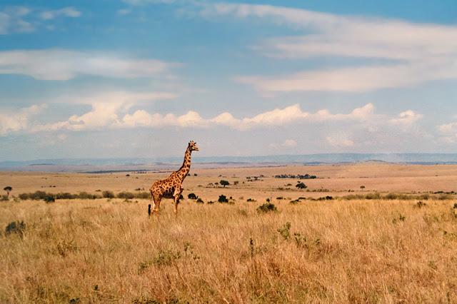 Une girafe dans la savane de Masaï Mara