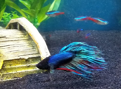 Blue, turquoise, and red crowntail betta fish in a community tank