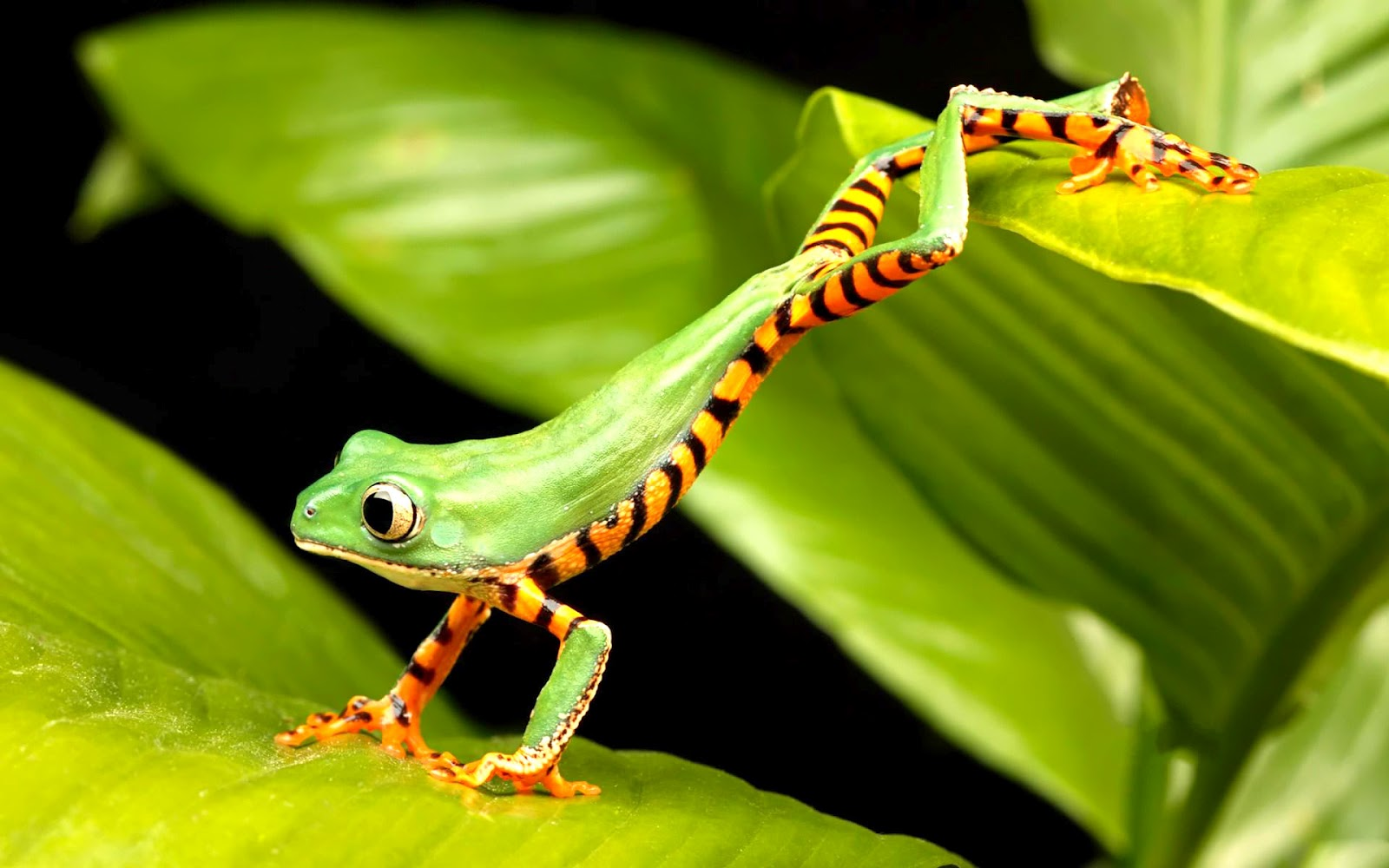 Frog wallpapers animals library - Best animal wallpaper download ...