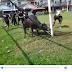 Tali putus, lembu korban mengamuk tanduk orang (video)