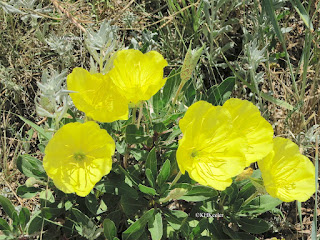 evening primrose Oenothera