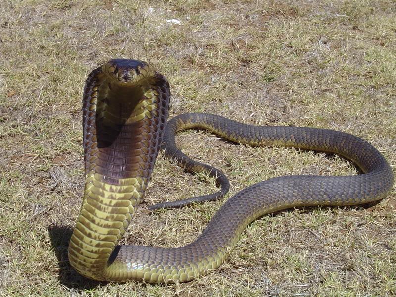 Cobra-Egípcia (Naja haje)