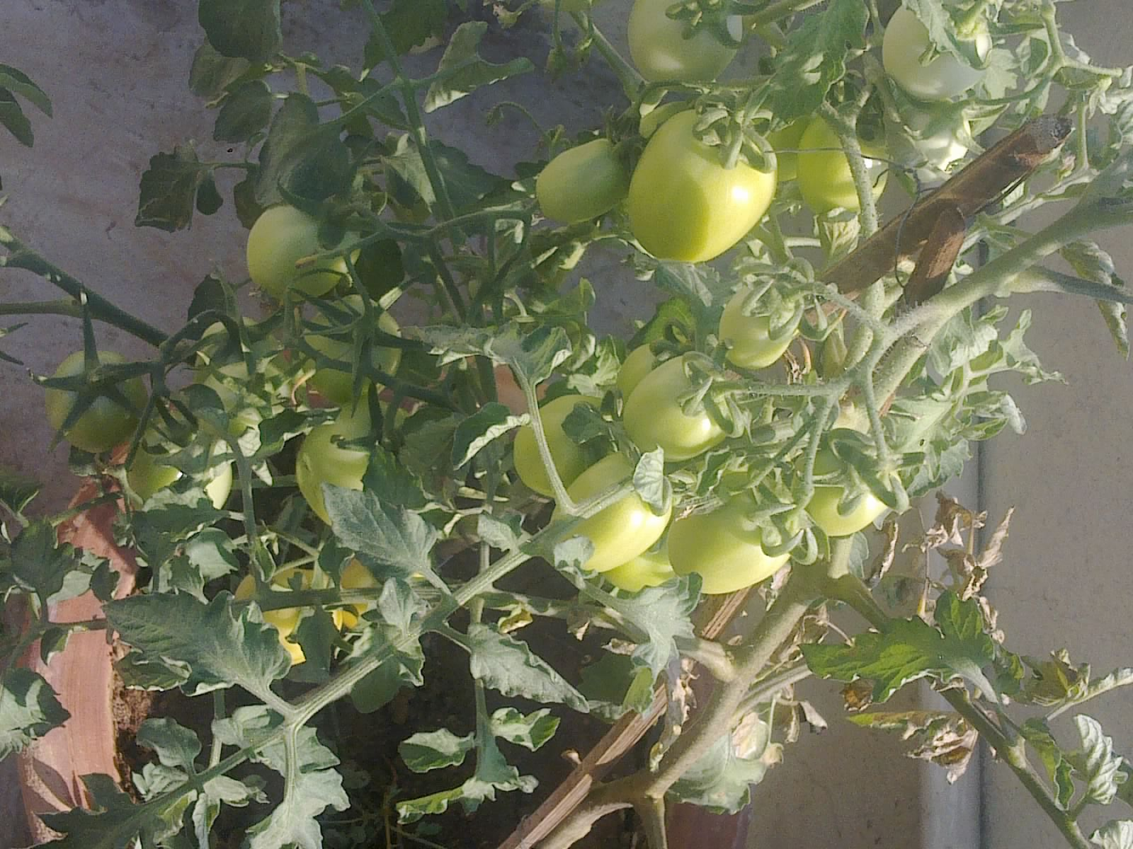 how to successfully grow tomatoes