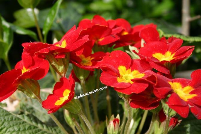 Çuha Çiçeği Ve Bakımı