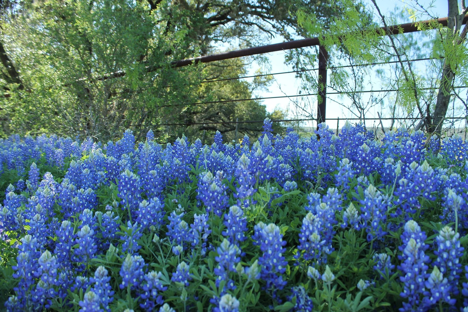 Bluebonnets In The Spring Willow City Loop Texas Always On Liberty