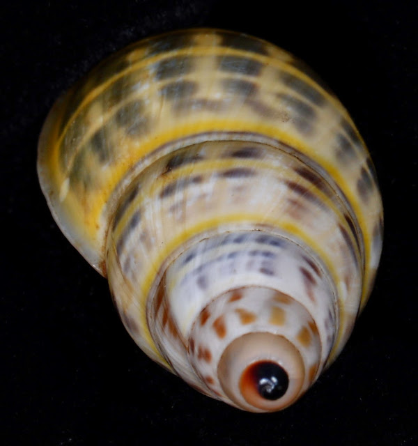 Amphidromus wetaranus wetaranus 29.32mm