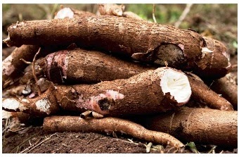 cassava root and tuber