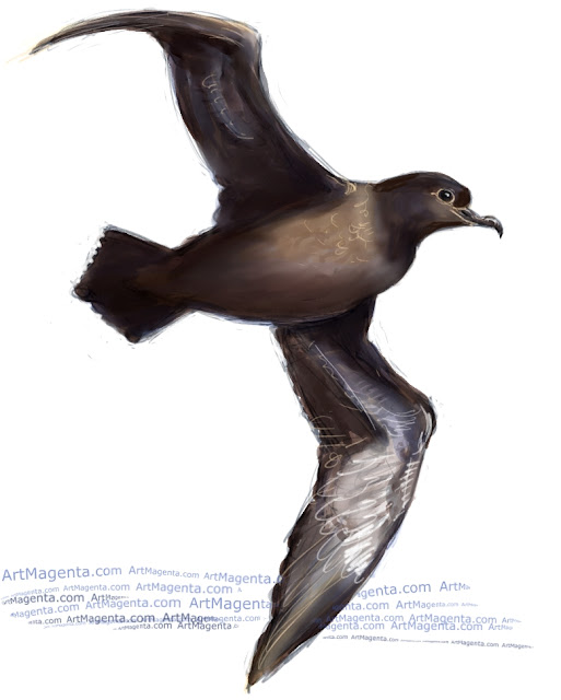 Sooty shearwater sketch painting. Bird art drawing by illustrator Artmagenta