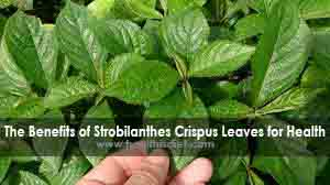 Proven Health Benefits of Strobilanthes Crispus