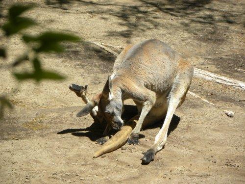 kangaroo, rio grande zoo, albuquerque zoo
