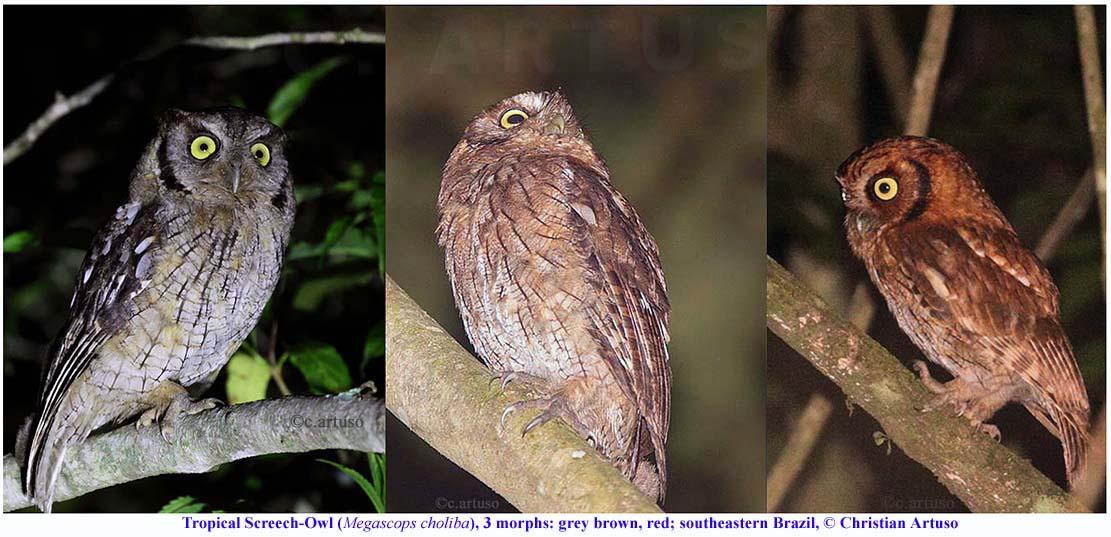 Christian Artuso: Birds, Wildlife: POLYCHROMATISM (colour ... - photo#39