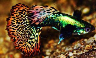 ikan guppy neon