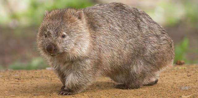 Wombats y biologia