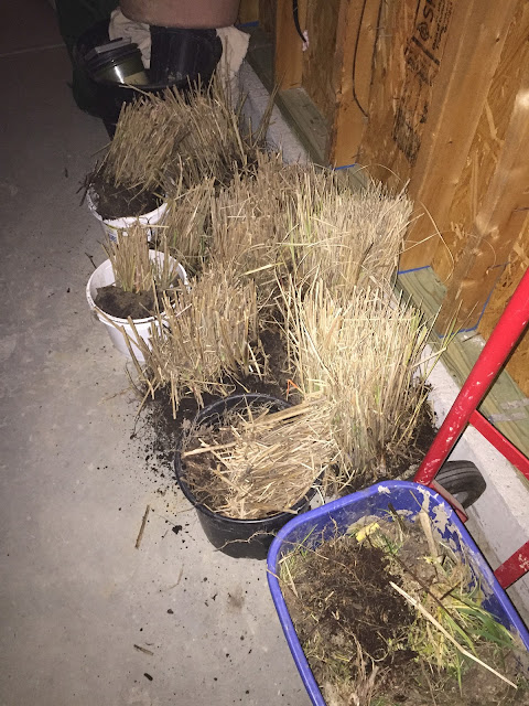 ornamental grass in garage