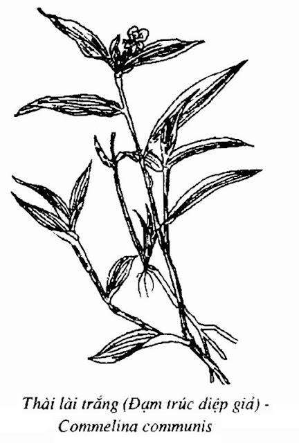 Hình vẽ Thài Lài Trắng (Đạm trúc diệp giả) - Commelina communis