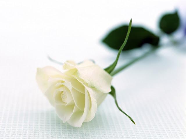 bó hoa hồng trắng đẹp nhất 2017 10