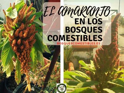 El amaranto junto a la quinua, para la autosuficiencia alimentaria
