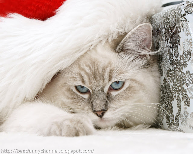 Very nice Christmas cat.