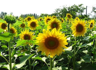 Geral Fototropisme positif merupakan gerak tumbuhan menuju ke arah datangnya cahaya