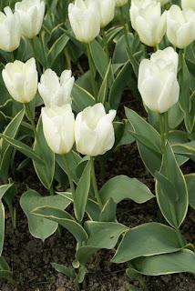 Tulipe forsteriana Purissima design - Tulipa Purissima design - Tulipe Purissima design