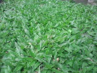 cỏ lá gừng thái lan