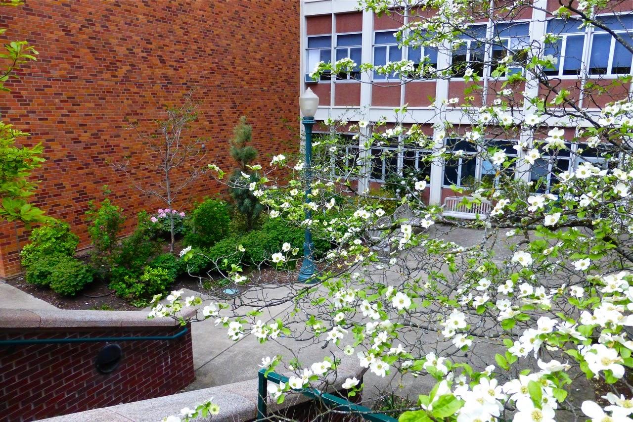 spring, spring 2015, magnolia, magnolia blossoms, magnolia tree, magnolia flowers, spring campus stroll, campus walk