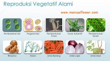 Reproduksi Vegetatif Alami
