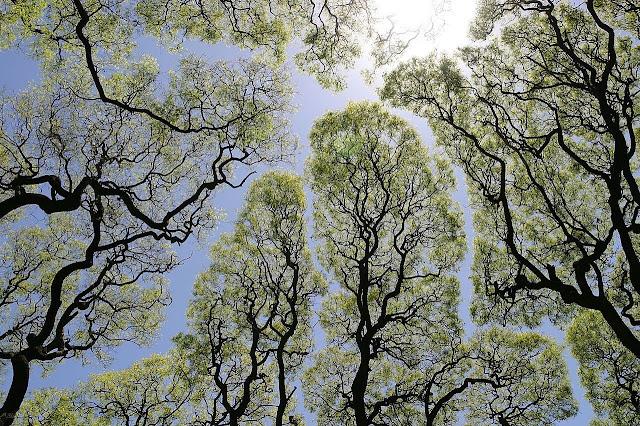 La separación de los árboles es llamada timidez