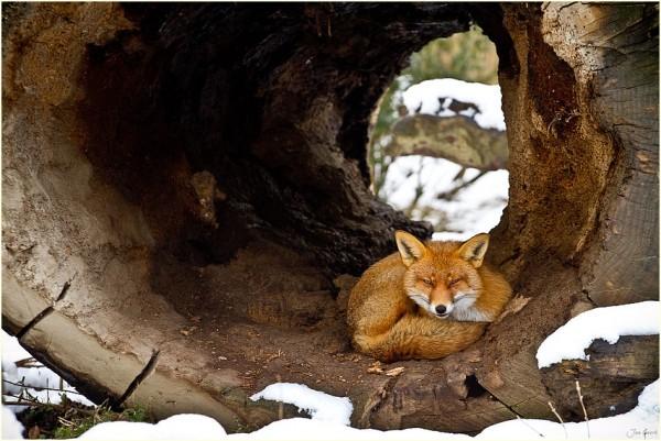 Fox one! by Jan Geerk
