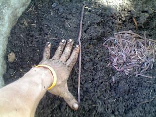 กำจัดขยะสดด้วยไส้เดือนดิน