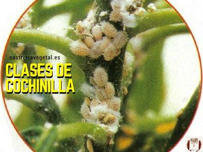 De los diversos tipos de cochinillas, cuatro, son las más comunes pseudoconinos, margarodidos, diaspinos y lecaninos